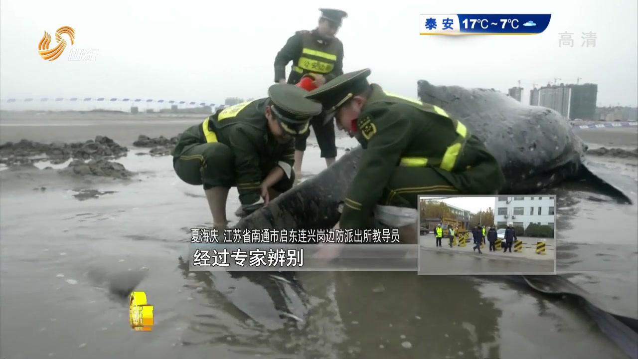 痛心!三次救援未能挽救搁浅幼鲸